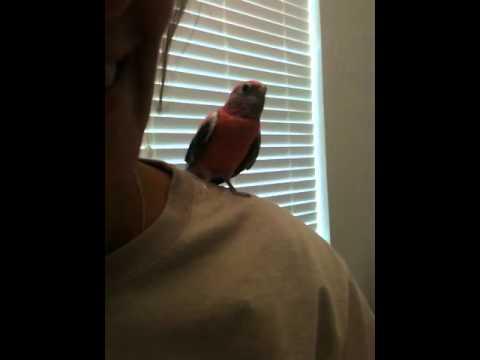 Singing rosy Bourke parakeet