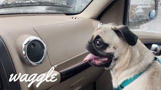 Precious Pugs 🐶 | Funny Dog Compilation