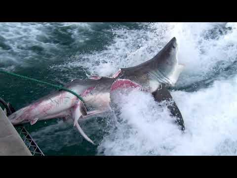 Big Rig - Shark Eats ANOTHER Shark Just Before Capture!