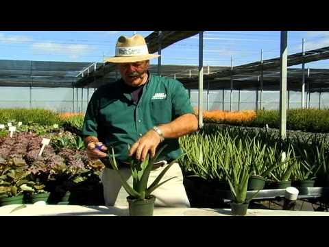 Succulent Aloe Vera Care Instructions.avi
