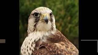 Ptáci Ptáci České republiky, dravci a sovy
