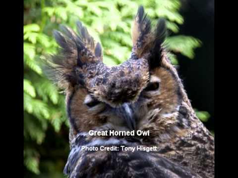 Owls of Renfrew County