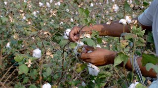 Stock footage of a man collecting a cotton crop from field