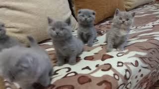 #ScottishFoldkittens Шотландские вислоухие котята
