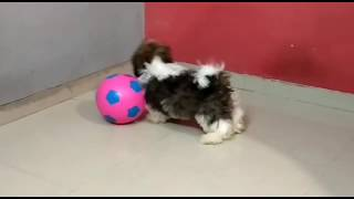 COCO   CUTE SHIH TZU PUP   PLAYING FOOTBALL   FUNNY DOG