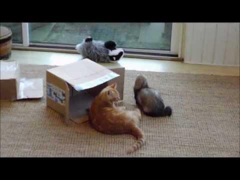 Jonge kat speelt met fretten. Cat plays with ferrets.wmv
