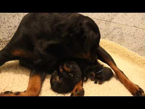 Guardian Rottweilers V Litter Puck X Xoana Youtube