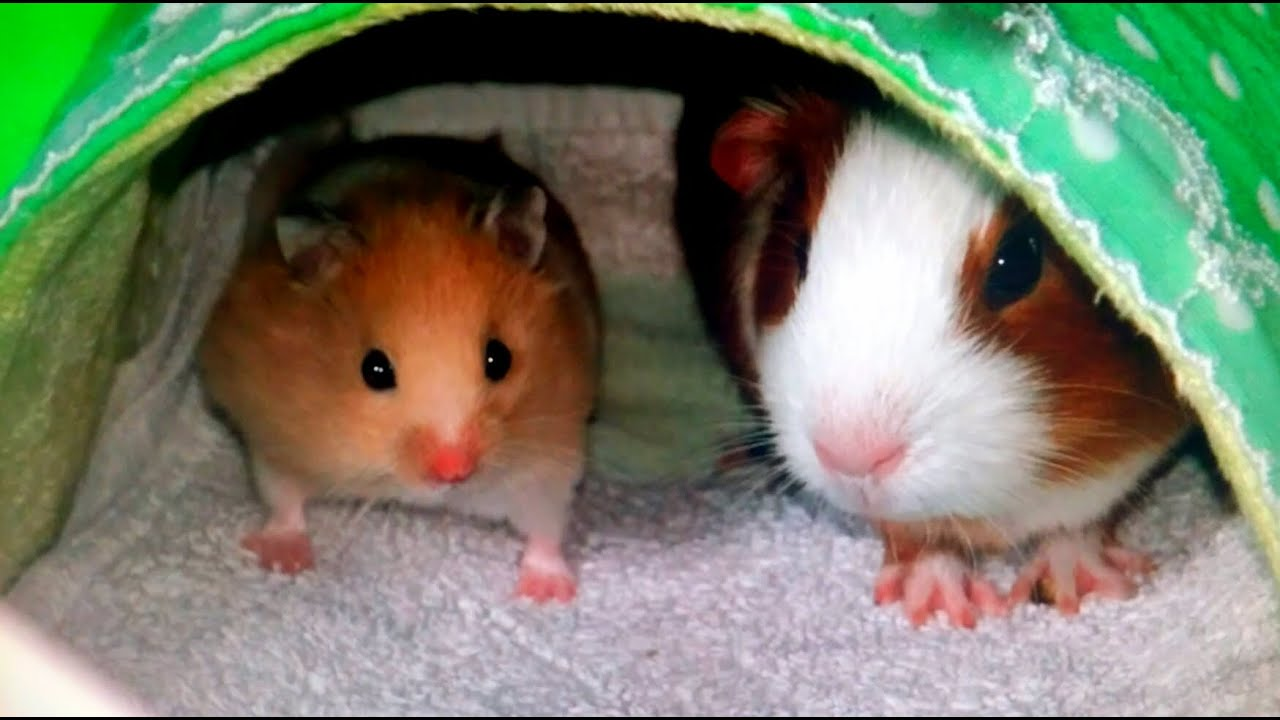 Uncategorized Hamster And Guinea Pig the meeting of golden hamster and guinea pig youtube pig