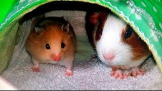 [햄스터]69탄.The Meeting of Golden hamster and Guinea pig