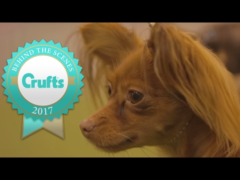 Welcome to the Russian Toy! | Crufts 2017