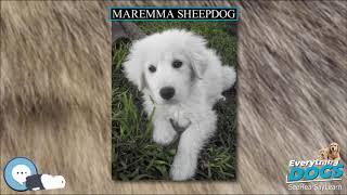 Maremma Sheepdog  Everything Dog Breeds