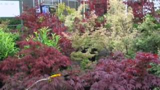 Our Japanese Maple Trees      We grow in Bucks County