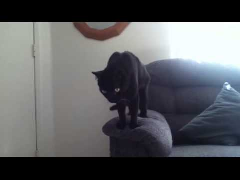 Bombay cat playing