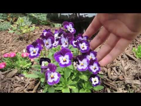 How To Keep Your Pansies Looking Full And Flowering All Season Long