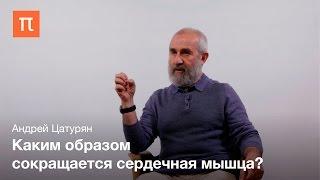 Биомеханика сердечной мышцы Андрей Цатурян