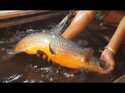 Alive Fish Shop In Fish Market | Big Black Carp Fish Chopping Into Pieces By Boy Fishmonger