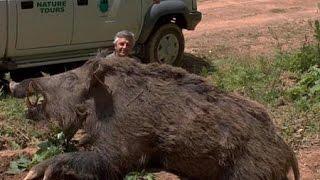 Berburu babi hutan berburu klip ban...