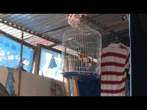 Chim khieu