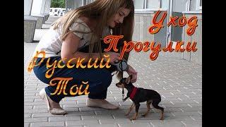 Русский той уход и содержание ❤ Первые прогулки 😍