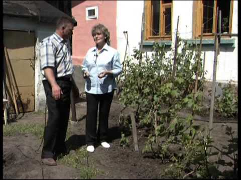 Выращивание  винограда на небольшом участке