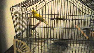 Russian canary  singing,dancing and bowing