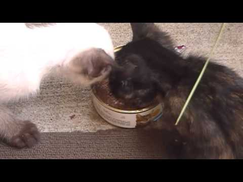 Cute selfish kitten doesn't want to share the food