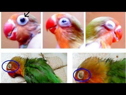 JANGAN MELAKUKAN HAL 5 HAL INI DI RUMAH , BIKIN LOVEBIRD SNOT !!!!