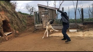 KANGAL BARON BABAMIN AKLINI ALDI KANGALIN YENİ GELEN YABANCILARA TEPKİSİ #kangal #dogoargentino