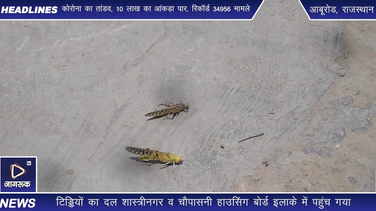 जोधपुर में पीले टिड्डियों का हमला, वाहन चालकों को हुई परेशानी