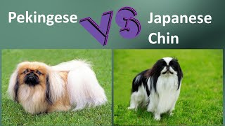 Pekingese VS Japanese Chin  Breed Comparison  Japanese Chin and Pekingese Differences