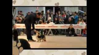 "Franco Pinna ""de Il Larice Bianco"" Corgies Show Handling"