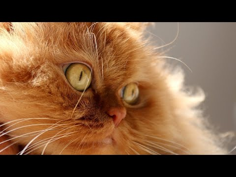 Amazing Facts on Persian Cat | In Hindi | Cat Facts | Animal Channel Hindi