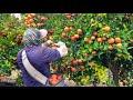 Pisca de Mandarina En Fresno California /amazing harvest tangerine🍊