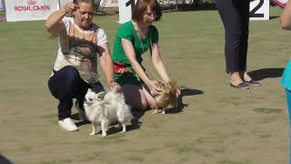 чихуахуа разные окрасы собак,  финал выставки собак