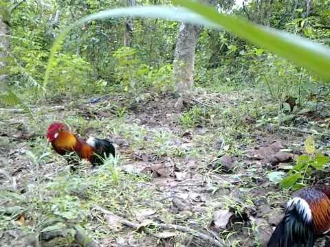 mikat ayam hutan lobai laman peneroka