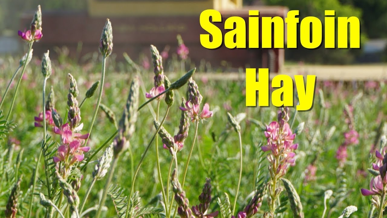 Sainfoin The Best Hay You Ve Never Heard Of Watch Video