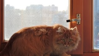 Рыжий кот Мурмиска!