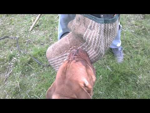 Dogue De Bordeaux working