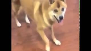 crazy dog dancing to MEME song thumbnail