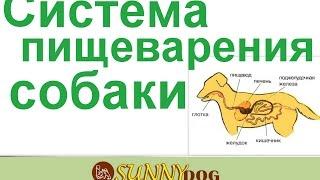 Как у собаки происходит пищеварение  Система пищеварения собаки