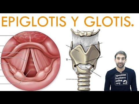 EPIGLOTIS GLOTIS - YouTube