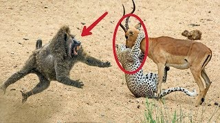 Hero Baboons Save Impala From Cheetah in Kruger National Park || Baboon vs Cheetah ||