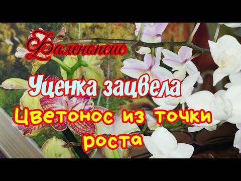 Фаленопсис Белое Яблоко зацвел из боковых почек. Фаленопсис Равелло разные цветы.