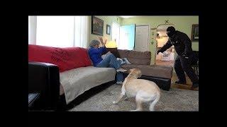 Köpeklerin Evlere Yapılan Saldırılar Sırasında Sahiplerini Savunup Savunmadıkları Test Edildi