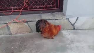Kogut kochin karzełek  (kurka poszukiwana)
