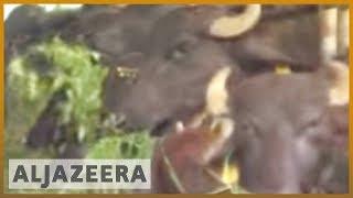 🇵🇭Cloning cattle in the Philippines | Al Jazeera English