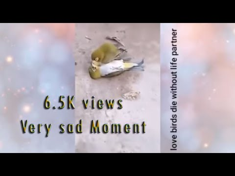love birds die without life partner very sad Moment