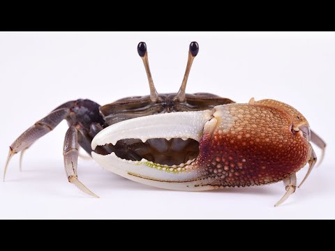 How To Catch Fiddler Crabs (GREAT Bait For Sheepshead, Black Drum & Redfish)