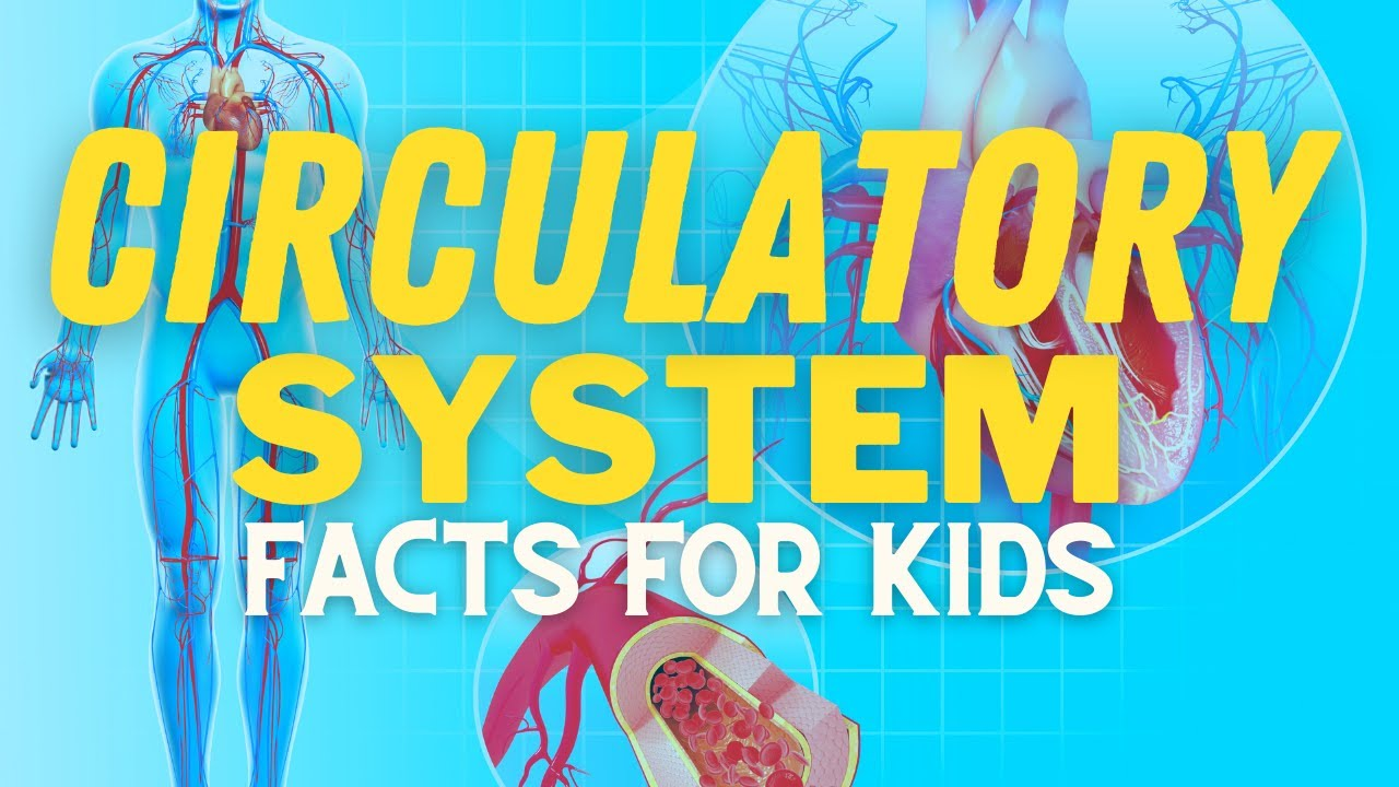 Circulatory System For Kids | How Does Your Heart Work