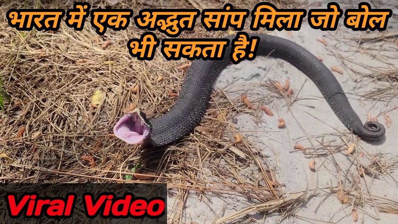 भारत में एक अद्भुत सांप मिला जो बोल भी सकता है! #Bapi_da_snake_expert